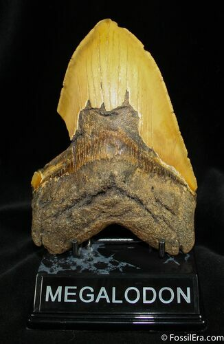 Giant 5.72 Megalodon Tooth From SC