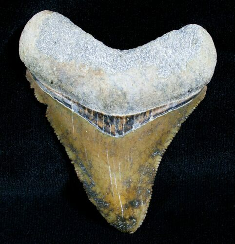 "Uniquely Colored 2.23"" Megalodon Tooth - Sharp"