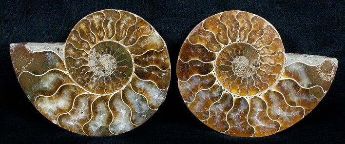 Beautiful 3.3 Inch Cut and Polished Ammonite Pair
