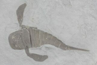 "3.7"" Eurypterus (Sea Scorpion) Fossil - New York For Sale, #70649"