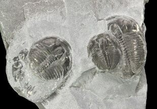 Small Elrathia Trilobite Multiple - Utah For Sale, #71045