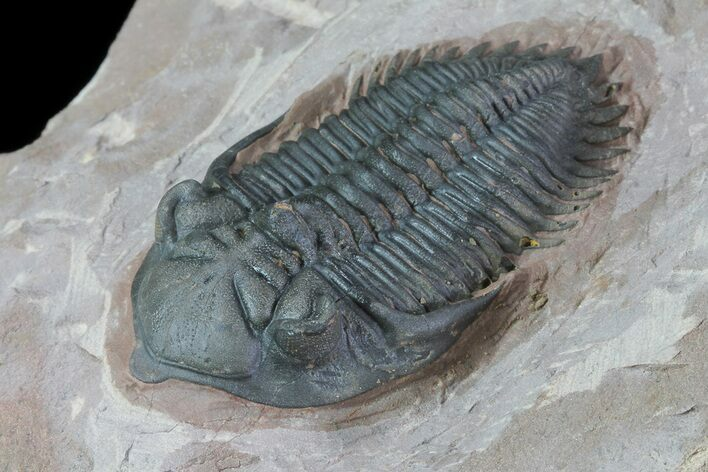 "2.1"" Prone Metacanthina Trilobite - Beautiful Eye Facets"