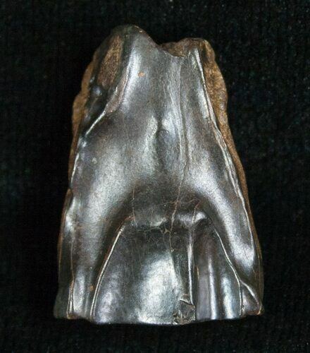 Large Triceratops Shed Tooth - .82""