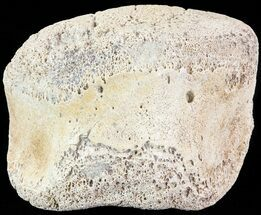 "Buy 2.5"" Hadrosaur Toe Bone - Alberta (Disposition #000028-29) - #71677"