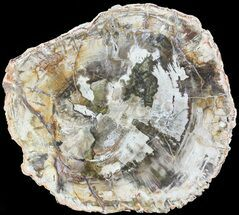"Buy 7.9"" Petrified Wood (Araucaria) Slab - Madagascar - #71917"