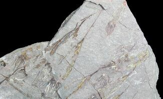 Ascocystites sp. - Fossils For Sale - #72099
