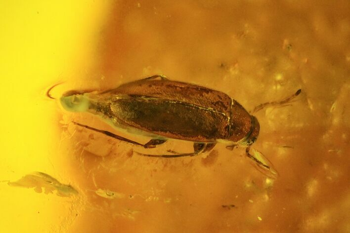 Fossil Beetle (Elateridae) In Baltic Amber