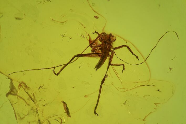 Fossil Bush Cricket (Tettigoniidae) In Baltic Amber - Rare!