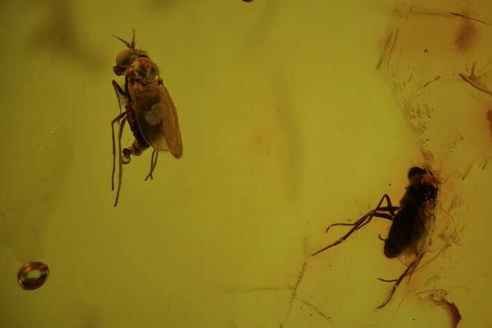 Two Detailed Fossil Flies (Diptera) In Baltic Amber