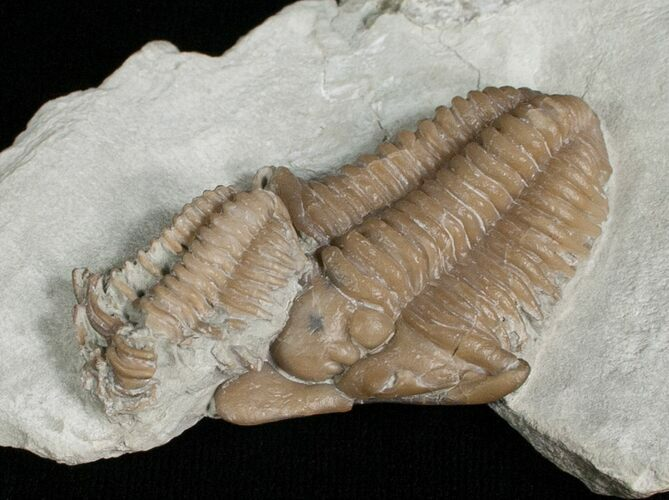 Super Rare, Snout Nosed Spathacalymene Trilobite