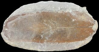 "Buy 3.1"" Neuropteris Fern Fossil - Mazon Creek - #72379"