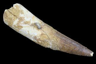 "Bargain, 3.1"" Spinosaurus Tooth - Composite Dinosaur Tooth For Sale, #65477"