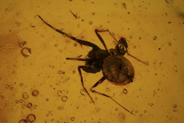 Fossil Spider (Aranea) In Baltic Amber