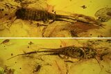 Phenomenal Fossil Bristletail (Archaeognatha) In Baltic Amber - #73323-2