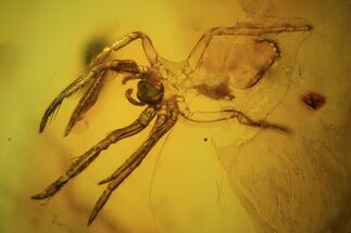 Buy Fossil Spider Exuviae (Aranea) In Baltic Amber - #73324