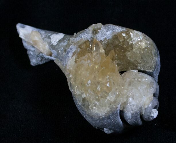 Crystalized Fossil Whelk - 2 1/2 Inches