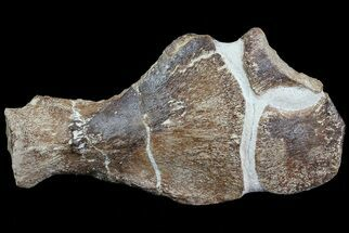 "Buy 14"" Partial Fossil Plesiosaur Paddle - Goulmima, Morocco - #73945"