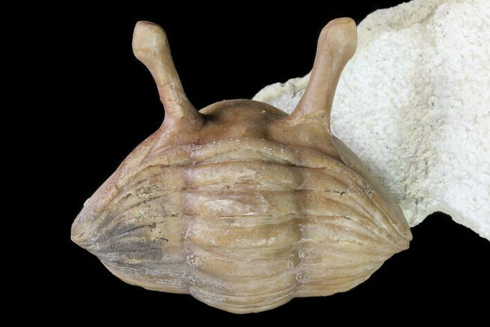 "1.5"" Enrolled Asaphus Kowalewskii Trilobite With Stalk Eyes"