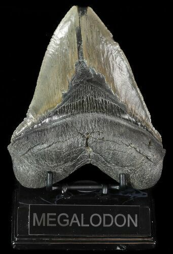 "Serrated, 5.38"" Fossil Megalodon Tooth - South Carolina"
