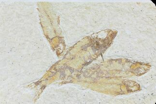 Multiple Knightia Fossil Fish - Wyoming For Sale, #74123