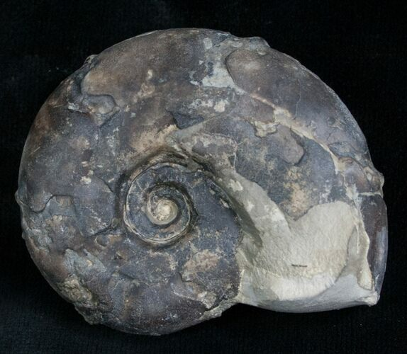 "2.1"" Sowerbyceras Ammonite - French, Alps"