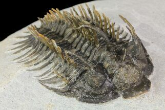 "Bargain, 2.4"" Comura Trilobite - Super Spiny For Sale, #74156"
