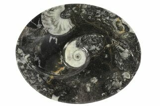 "Buy 4.7"" Oval Shaped Fossil Goniatite Dish - #73750"