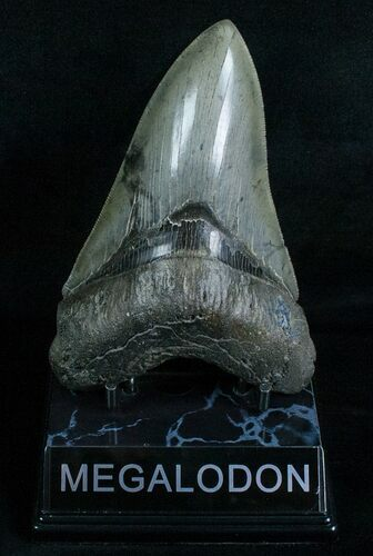 Beautiful Lower Megalodon Tooth - Dagger