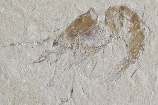 Carpopenaeus callirostris - Fossils For Sale - #74529