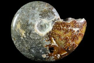 "Buy Bargain, 3.6"" Wide Polished Cleoniceras Ammonite - Madagascar - #74884"
