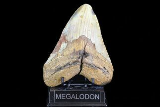 "Buy 5.97"" Fossil Megalodon Tooth - Very Heavy Tooth - #75520"