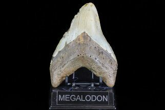 "Large, 5.57"" Fossil Megalodon Tooth - North Carolina For Sale, #75527"