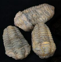 Bulk Large Calymene Trilobite Fossils - 3 Pack For Sale, #75692