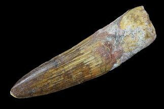 "2.24"" Real Spinosaurus Tooth - Nice Enamel Preservation For Sale, #75146"
