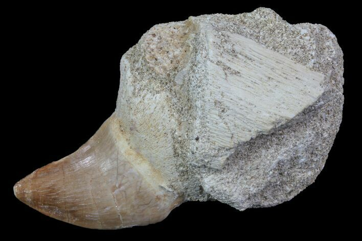 "2.3"" Rooted Mosasaur (Prognathodon) Tooth"