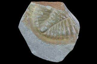 Ogyginus cordensis - Fossils For Sale - #75915