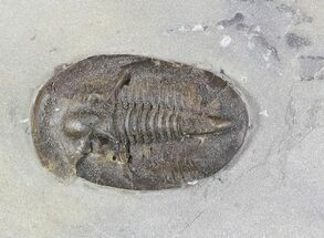 "Buy .57"" Radnoria Trilobite From New York - Rare Species - #46582"
