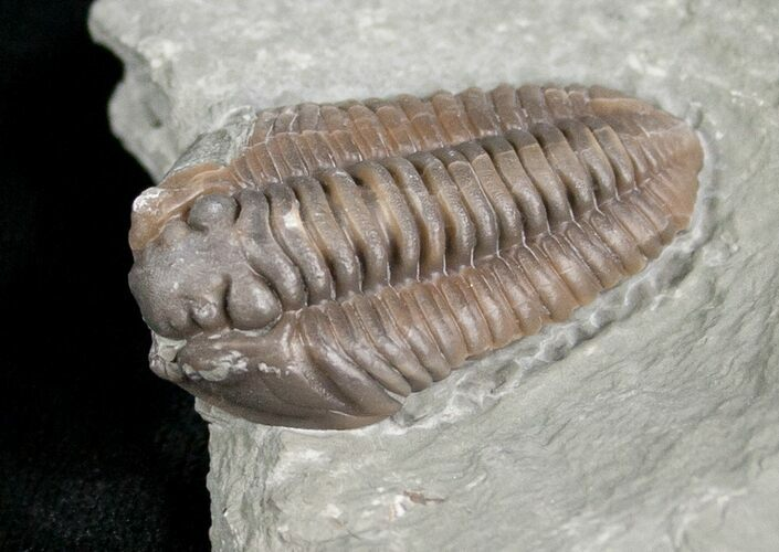 "1.2"" Flexicalymene Trilobite from Ohio - 3D"