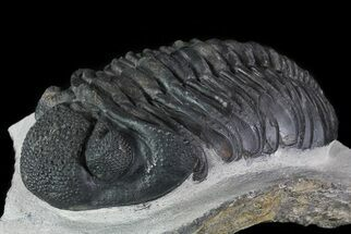 "4.6"" Drotops Trilobite - Excellent Faceted Eyes For Sale, #76409"