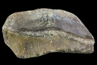 Unidenfied Hadrosaur - Fossils For Sale - #76734