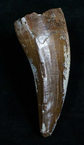 "3.60"" T-Rex Tooth - Excellent Preservation!"