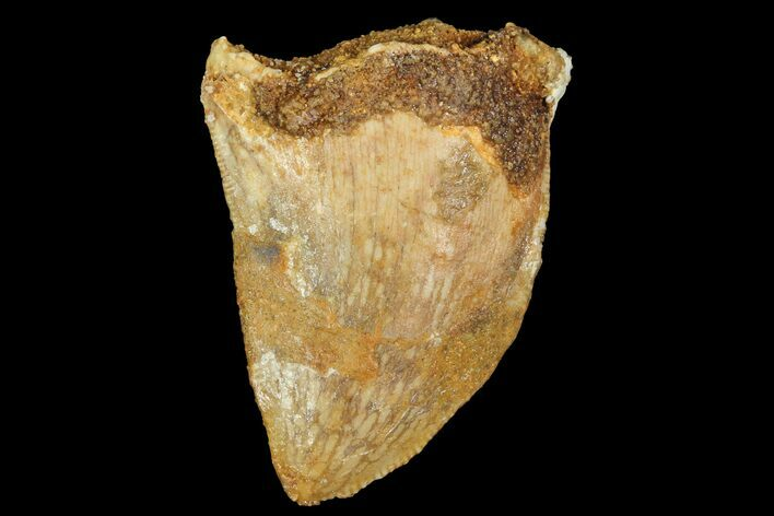 "Bargain, 1.06"" Juvenile Carcharodontosaurus Tooth"