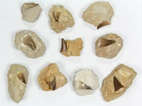 "Wholesale Lot: 1-2"" Fossil Mosasaur Teeth In Rock - 10 Pieces For Sale, #77165"