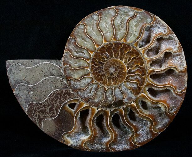 "7.25"" Wide Cleoniceras Ammonite (Half)"