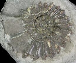 "1.4"" Ammonite (Pleuroceras) Fossil - Burgebrach, Germany For Sale, #77237"