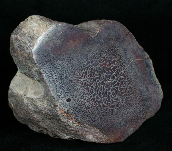 Polished, Agatized Dinosaur Bone (8 ounces)