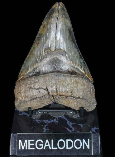 "Serrated, 4.82"" Fossil Megalodon Tooth - Georgia"