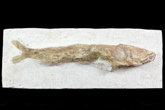 "Buy 10.5"" Lower Turonian Fossil Fish - Goulmima, Morocco - #76399"