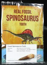 "Buy Wholesale: 1-2"" Fossil Spinosaurus Teeth (Packaged) - 10 Pieces - #77713"