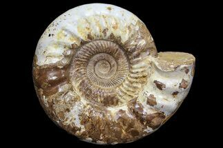 "13.4"" Jurassic Ammonite Fossil - Madagascar For Sale, #77651"